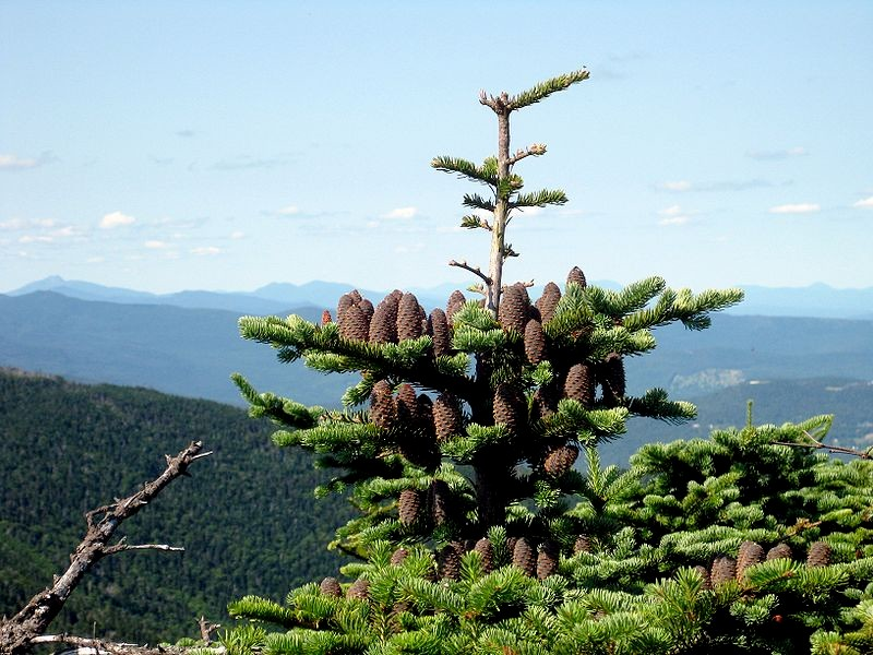 800px abies balsamea phanerolepis