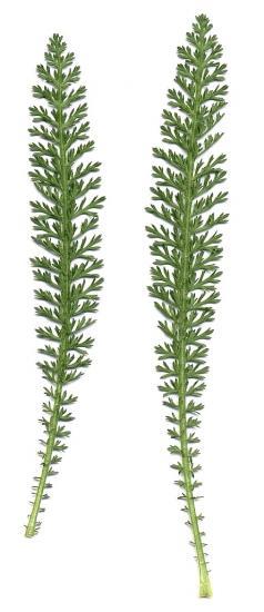 Achillea_millefolium_feuilles.jpg