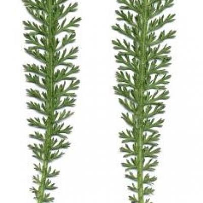 Achillée Millefeuille, 100 g, Herboristerie des Hautes Alpes