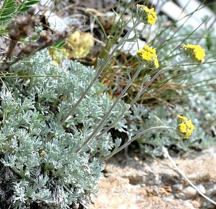 Artemisia_glacialis_03_07_2006_1.jpg