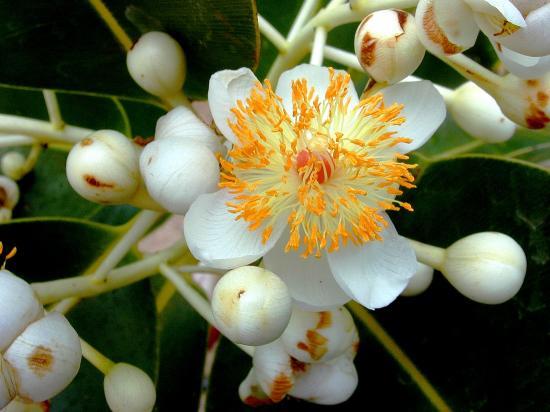 Calophyllum_inophyllum_starr1.jpg