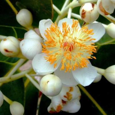 Calophylle (huile Végétale ), 50 ml, Madagascar