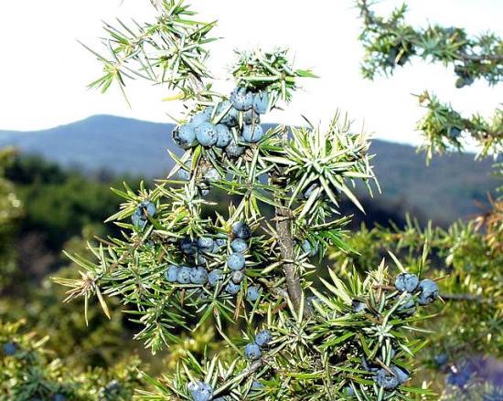 Juniperus_communis_21_01_2001_4.jpg