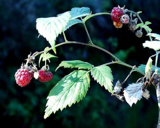 Rubus_idaeus_21_08_2001_3__sophyJPG.jpg