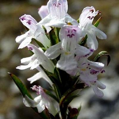 Sarriette des Montagnes (Huile essentielle), 5 ml