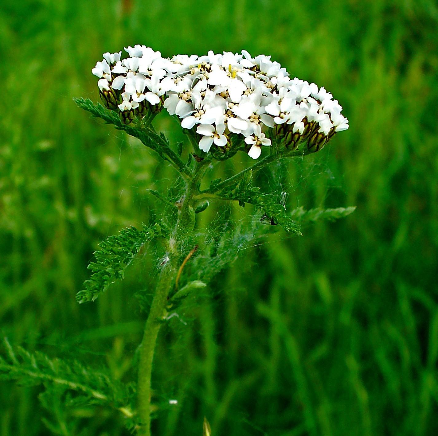 Achillea millefolium 002 2