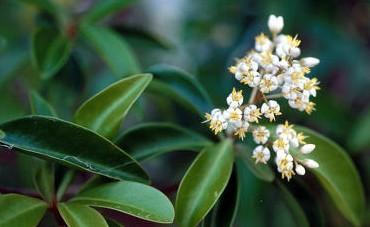 Santal jaune des Indes Occidentales  ou Amyris sauvage (Huile essentielle), 10ml