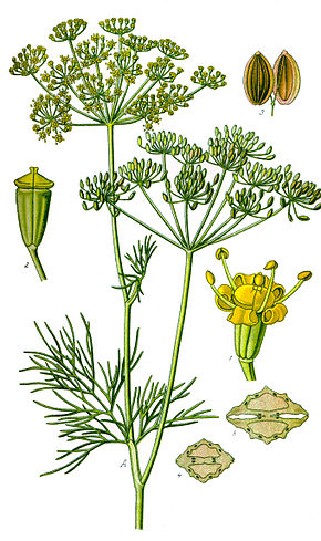 Anethum graveolens illustration