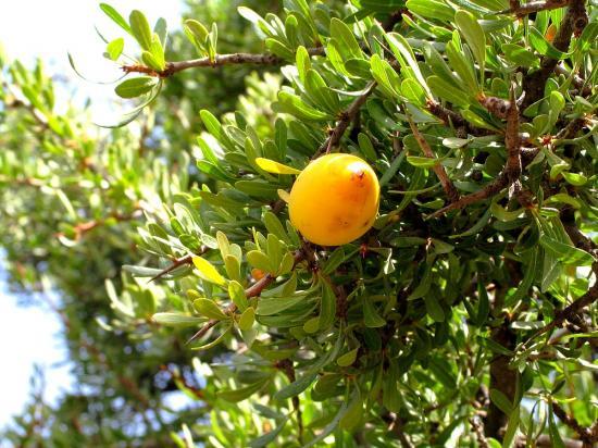 arganier_fruit_2_1270_wiki1.jpg
