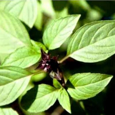Basilic tropical (Huile essentielle), 10 ml