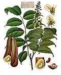 Baume de Tolu (Huile essentielle), 10 ml