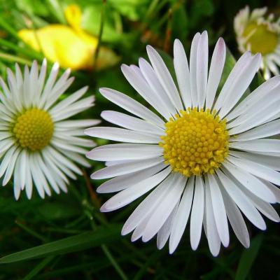 Huile Pâquerettes (fleurs), 50 ml, mention SIMPLES