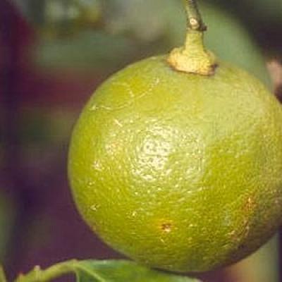Bergamote (Huile essentielle), 10 ml, Bio