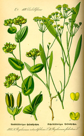 Bupleurum rotundifolium illustration