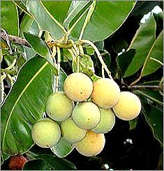 callophyle-fruit-aromaforest.jpg