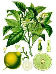 Citrus bergamia illustration
