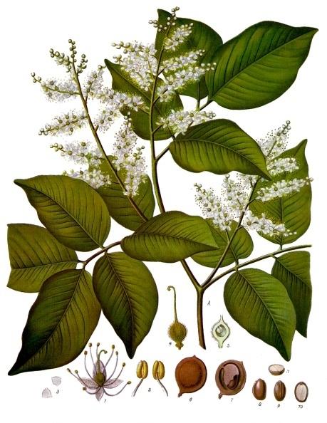 Copaifera officinalis kohler s medizinal pflanzen 047