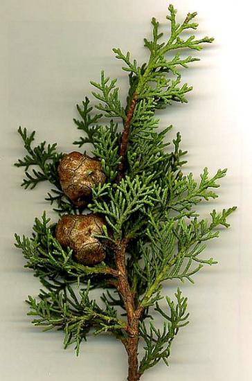 cupressus-sempervirens-mpf.jpg
