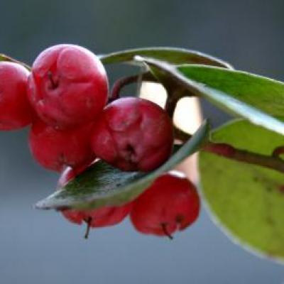 Wintergreen ou Gaulthérie odorante, (Huile essentielle) 10 ml,