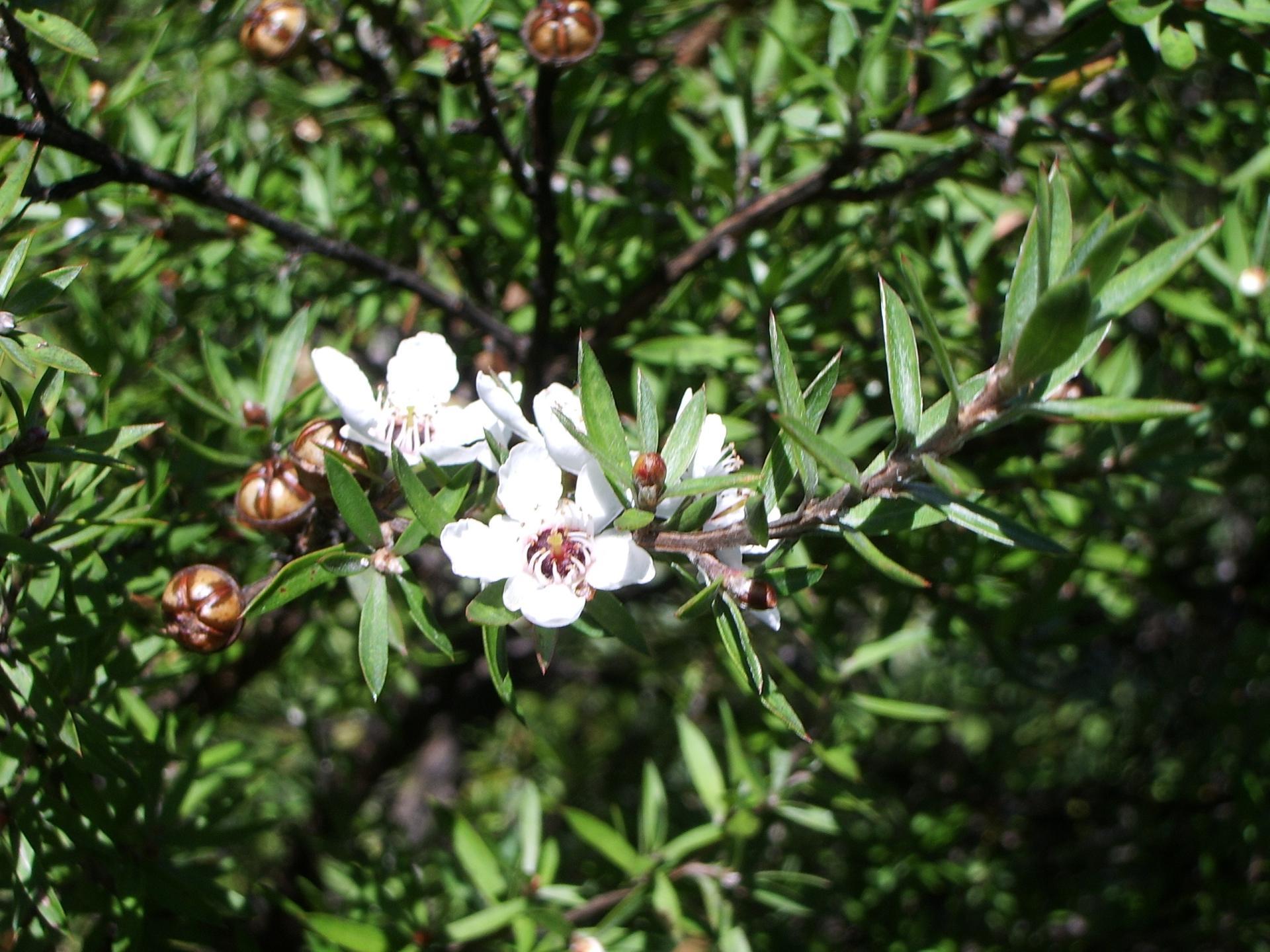 Leptospermum scoparium manuka