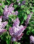 Huile Lilas (fleurs), 50 ml