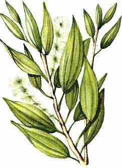 Melaleuca alternifolia illustration