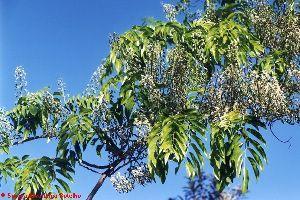 Baume de Tolu (Huile essentielle), 5 ml