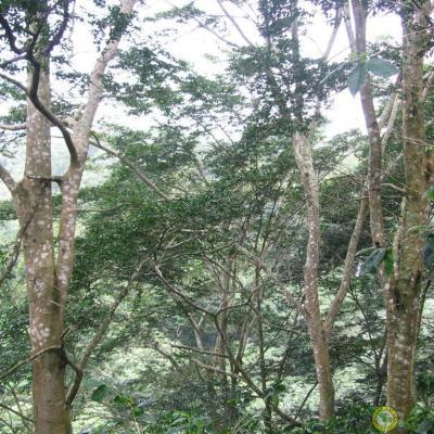 Baume du Pérou (Huile essentielle), 10 ml