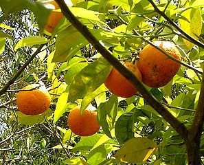 oranger-bigarade.jpg