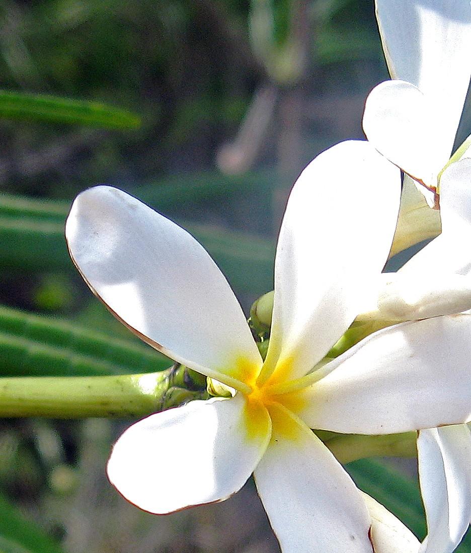 Plumeria alba wiki doug