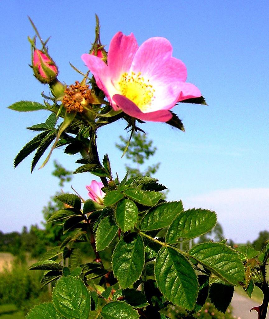 rosa-rubiginosa-mit-einigen-knospen-2-1.jpg