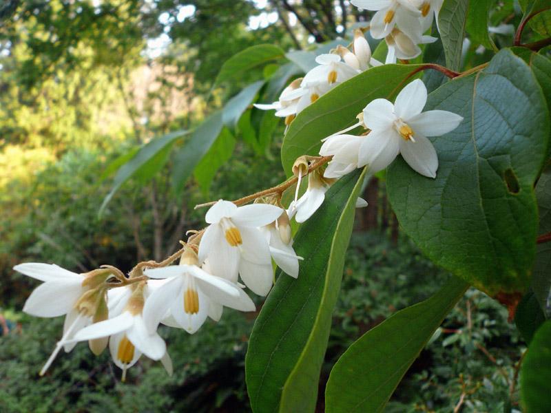 Styrax tonkinensis ph univ columbia 1