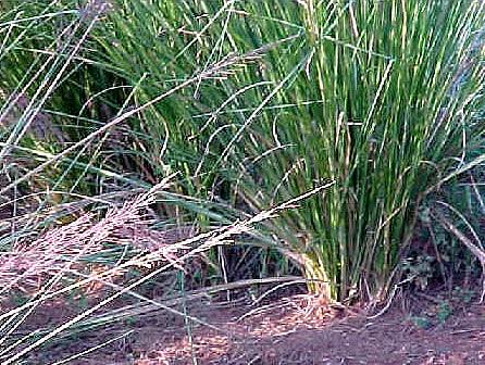 vetiveria-zizanioides0-1.jpg
