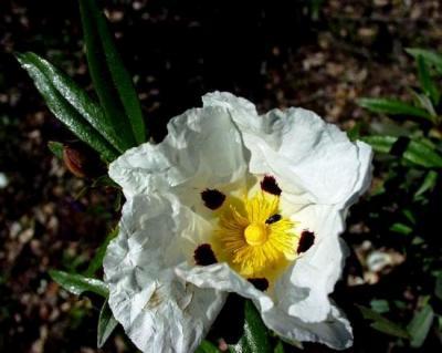 acanthis : phytolys : Ciste ladanifère, 50 ml, macérât hydro-alcoolique