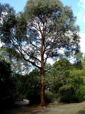 Eucalyptus radié ou officinal (Huile essentielle), 10 ml