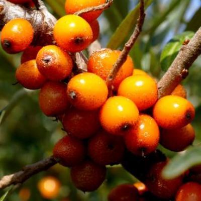 Infusion Argousier-fruits rouges