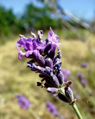 Sirop floral Lavande, 250 ml, Hautes Alpes