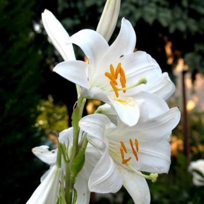 "Huile Lys (fleurs), 50 ml, Hautes-Alpes, ""Nature ma Compagne"""