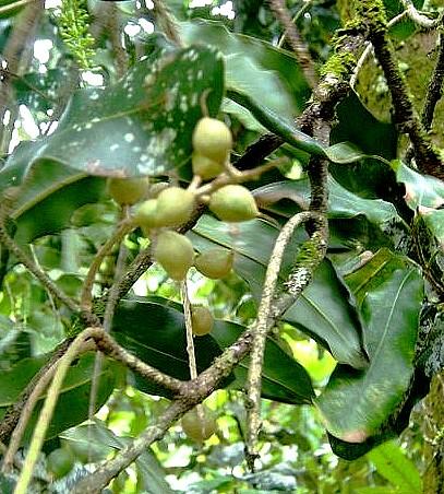 Macadamia_integrifolia_MacNut.jpg