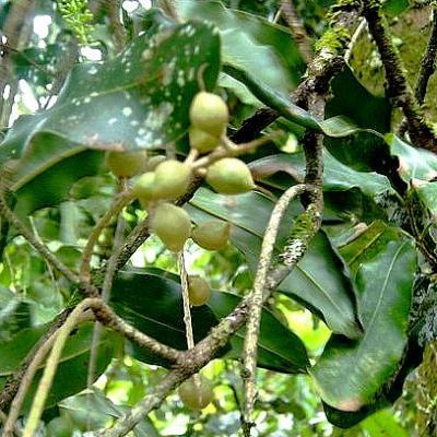 Macadamia (Huile végétale), 50 ml, Bio