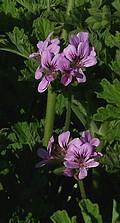 Géranium rosat Bourbon (Huile essentielle), 10 ml