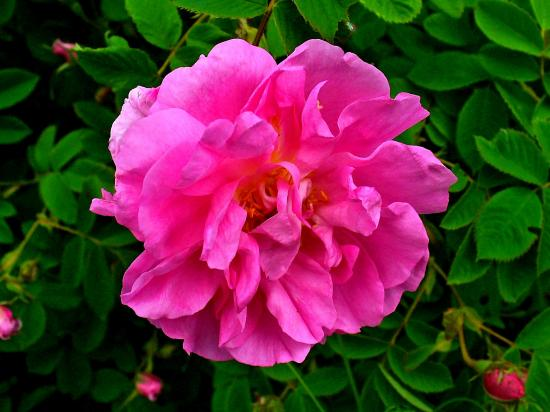 Rosa_damascena_002.jpg