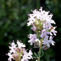 Thymus_vulgaris_27_04_2003_1.jpg