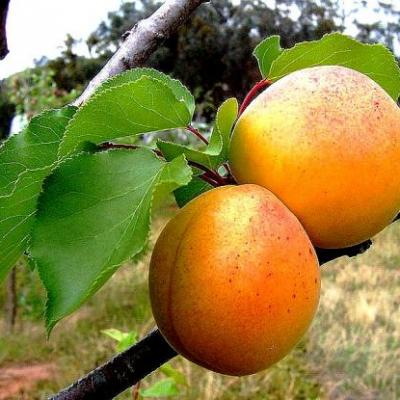 Abricot, noyaux (Huile végétale), 50 ml