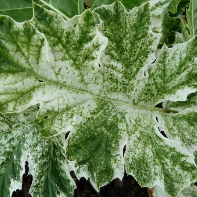 Herbiolys : Gemmothérapie : cassissier (ribes nigrum)