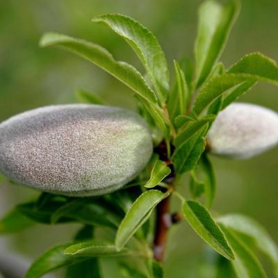 Amande douce (Huile végétale), 50 ml, bio