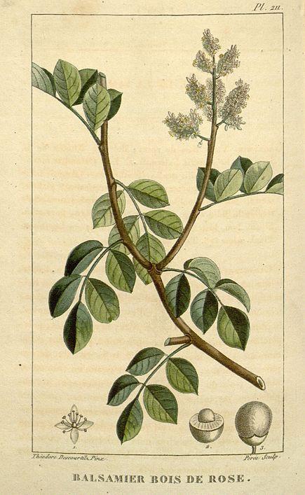 Amyris balsamifera wikipedia