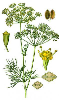 Aneth odorant (Huile essentielle), 10 ml