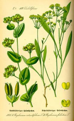 Buplèvre (Huile essentielle), 5 ml