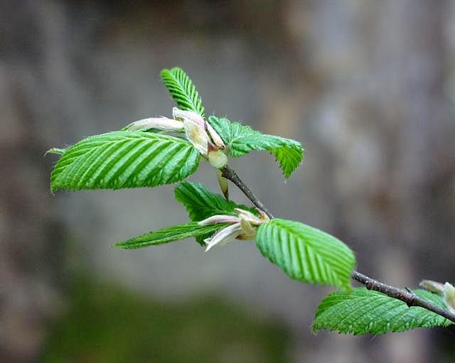 carpinus-betulus-sophy.jpg